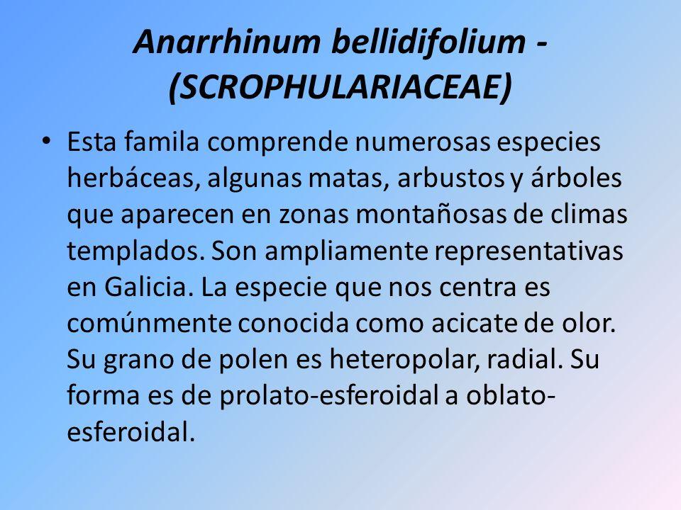 Anarrhinum bellidifolium - (SCROPHULARIACEAE)