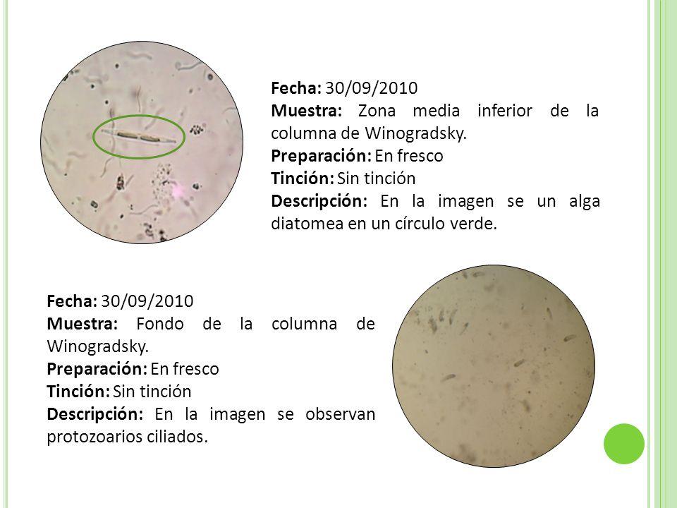 Fecha: 30/09/2010Muestra: Zona media inferior de la columna de Winogradsky. Preparación: En fresco.