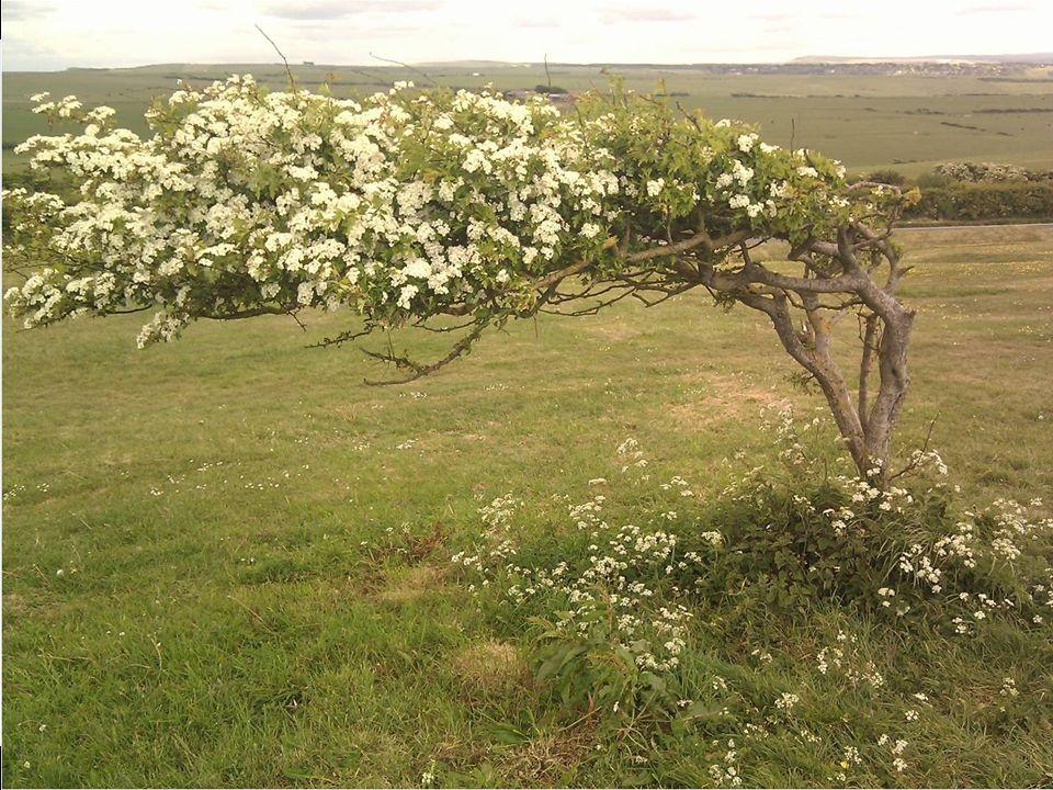 El viento que hace siempre en la zona han cambiado la forma de este árbol.
