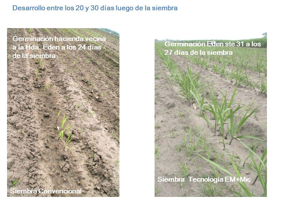 Desarrollo entre los 20 y 30 días luego de la siembra
