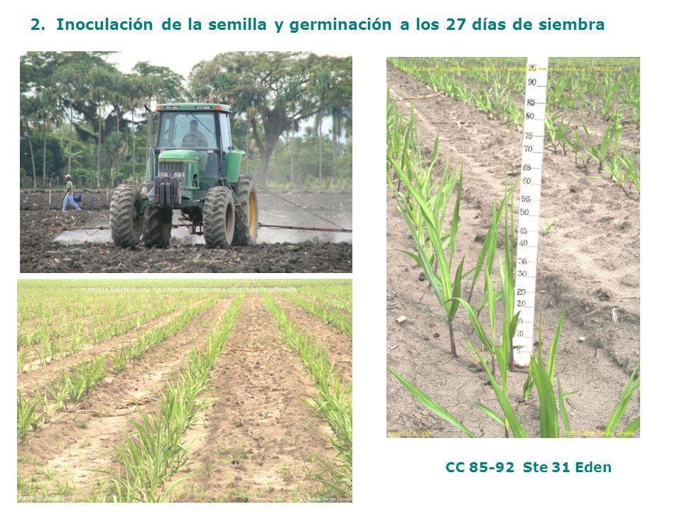 2. Inoculación de la semilla y germinación a los 27 días de siembra