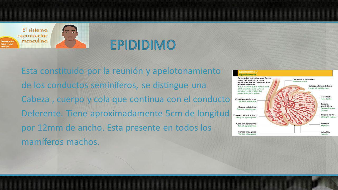 EPIDIDIMO