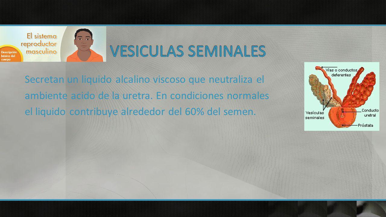 VESICULAS SEMINALES
