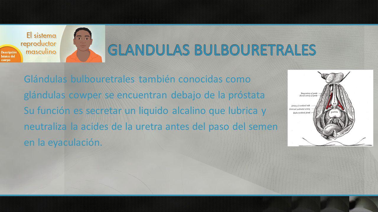 GLANDULAS BULBOURETRALES