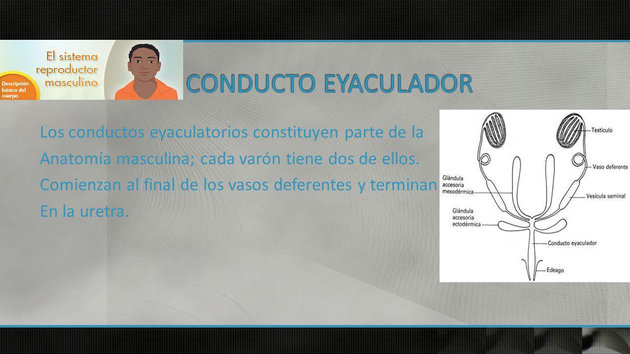 CONDUCTO EYACULADOR