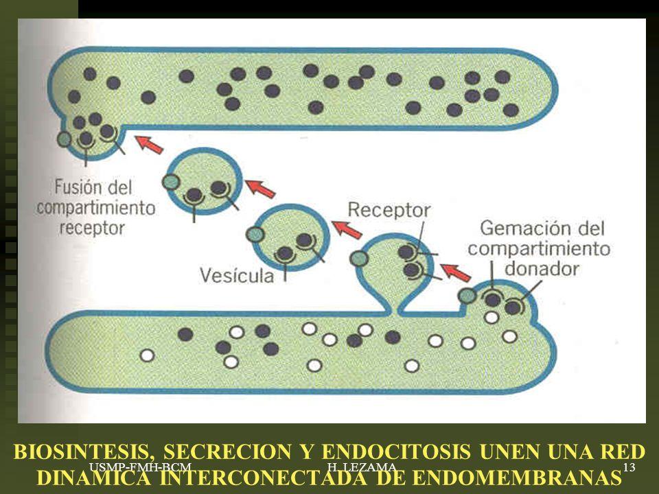 BIOSINTESIS, SECRECION Y ENDOCITOSIS UNEN UNA RED DINAMICA INTERCONECTADA DE ENDOMEMBRANAS