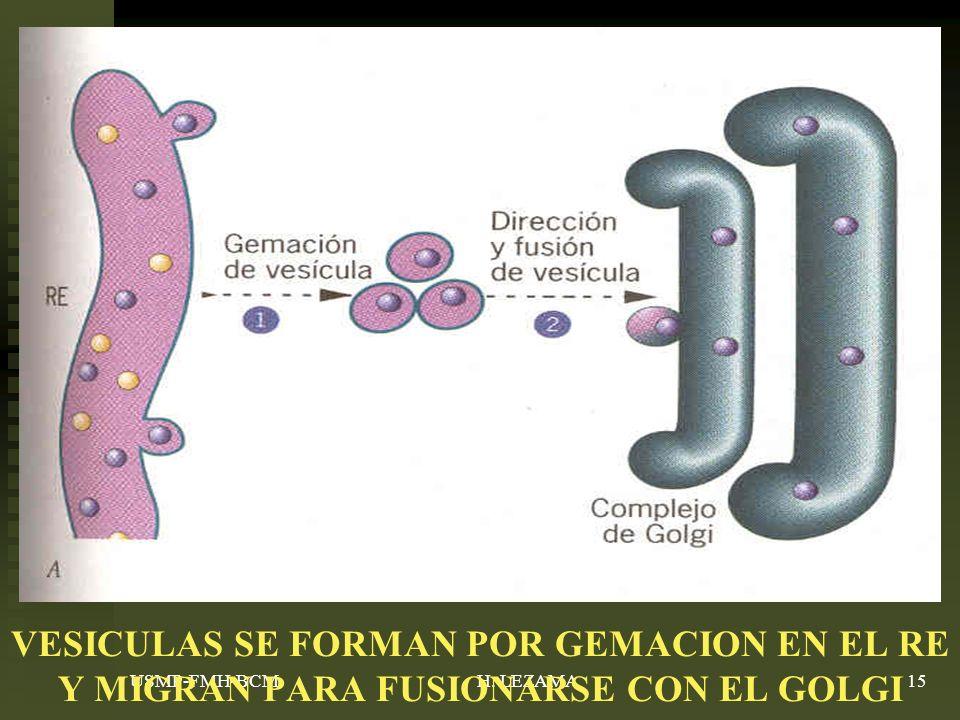 VESICULAS SE FORMAN POR GEMACION EN EL RE Y MIGRAN PARA FUSIONARSE CON EL GOLGI