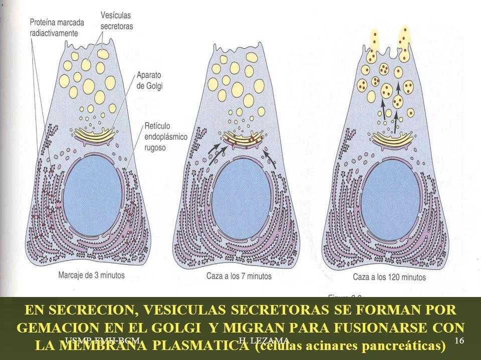 EN SECRECION, VESICULAS SECRETORAS SE FORMAN POR GEMACION EN EL GOLGI Y MIGRAN PARA FUSIONARSE CON LA MEMBRANA PLASMATICA (células acinares pancreáticas)