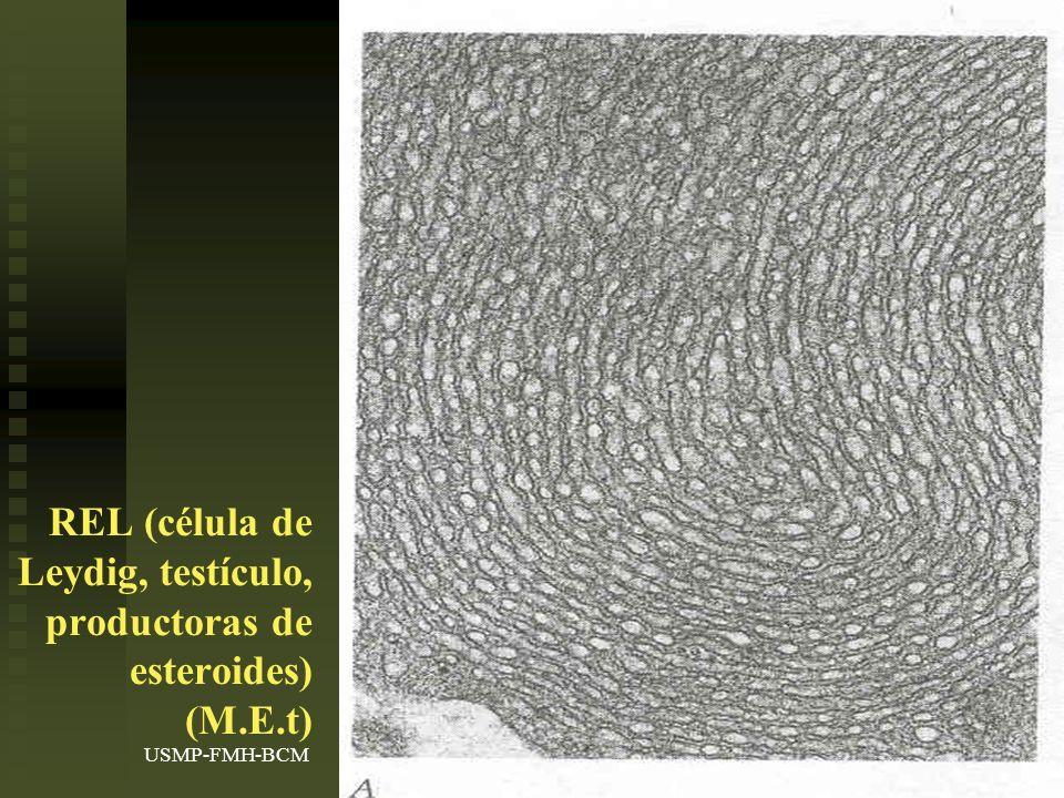 REL (célula de Leydig, testículo, productoras de esteroides) (M.E.t)