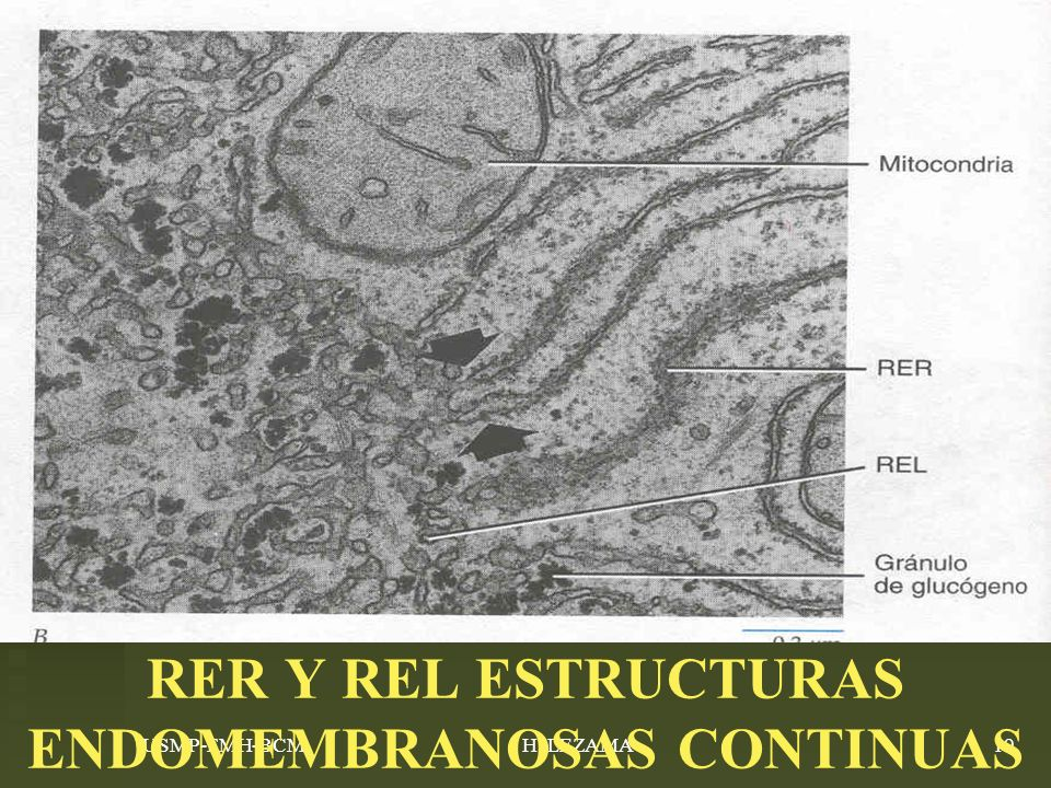RER Y REL ESTRUCTURAS ENDOMEMBRANOSAS CONTINUAS