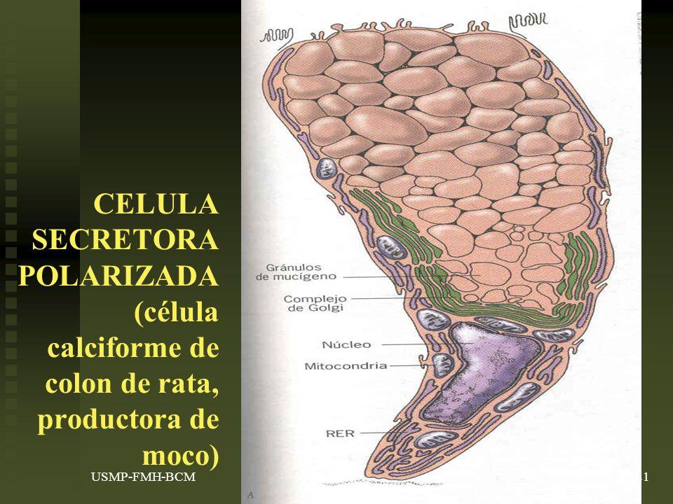 CELULA SECRETORA POLARIZADA (célula calciforme de colon de rata, productora de moco)