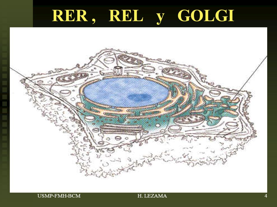 RER , REL y GOLGI USMP-FMH-BCM H. LEZAMA