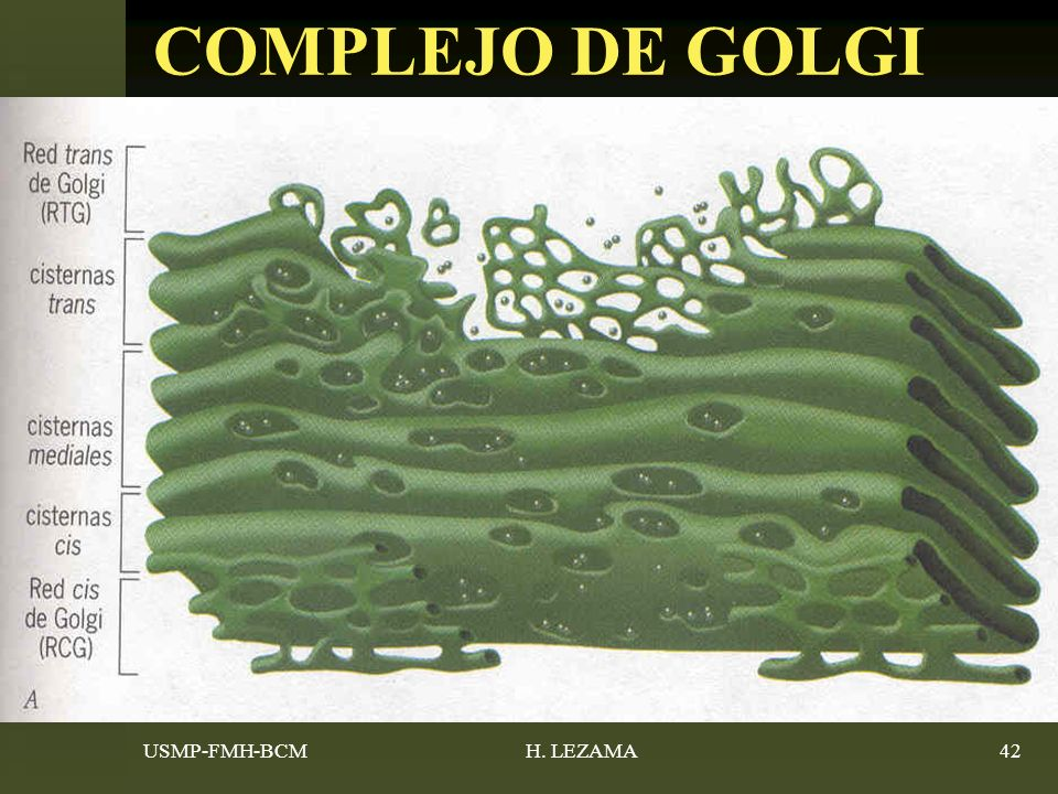 COMPLEJO DE GOLGI USMP-FMH-BCM H. LEZAMA