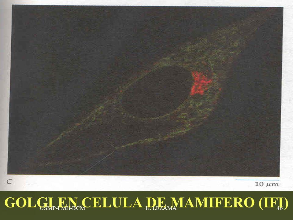 GOLGI EN CELULA DE MAMIFERO (IFI)