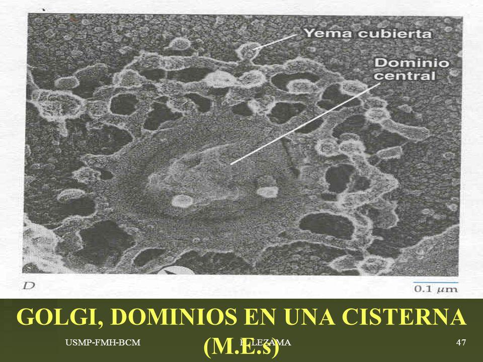 GOLGI, DOMINIOS EN UNA CISTERNA (M.E.s)