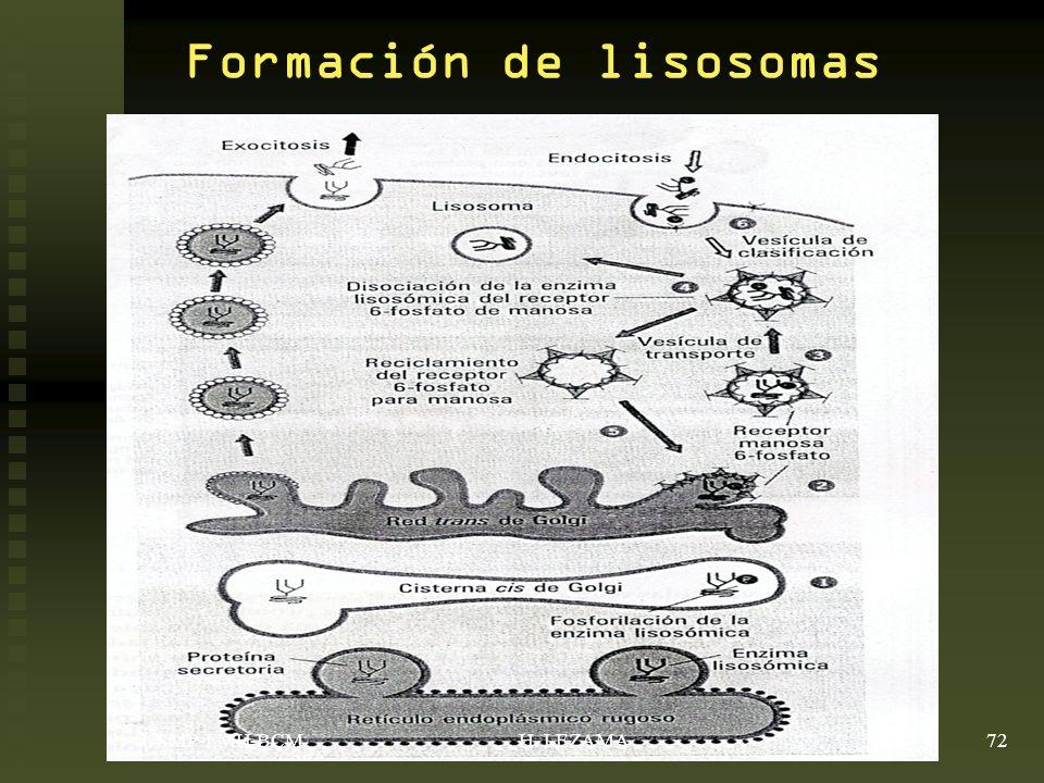 Formación de lisosomas