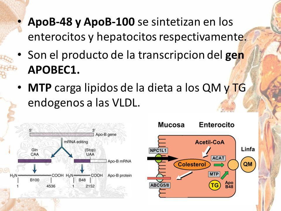 ApoB-48 y ApoB-100 se sintetizan en los enterocitos y hepatocitos respectivamente.