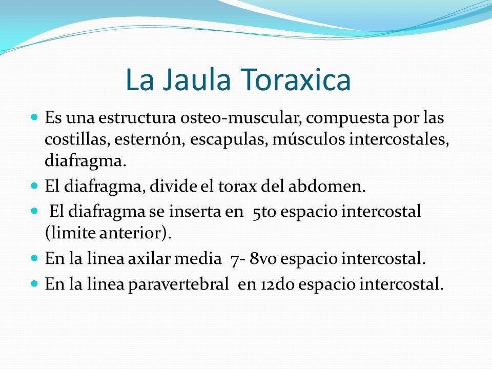 La Jaula Toraxica Es una estructura osteo-muscular, compuesta por las costillas, esternón, escapulas, músculos intercostales, diafragma.