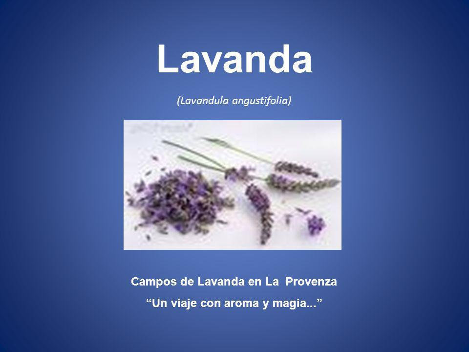Campos de Lavanda en La Provenza Un viaje con aroma y magia...