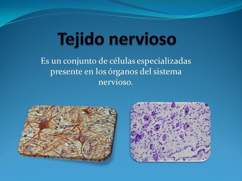 Tejido nervioso Es un conjunto de células especializadas presente en los órganos del sistema nervioso.