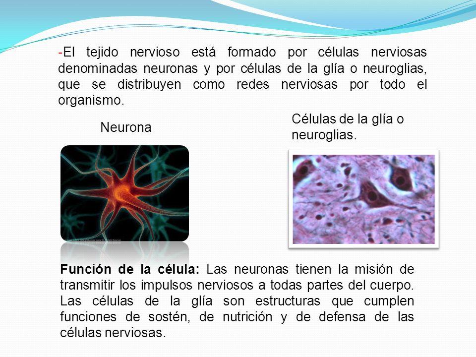 -El tejido nervioso está formado por células nerviosas denominadas neuronas y por células de la glía o neuroglias, que se distribuyen como redes nerviosas por todo el organismo.
