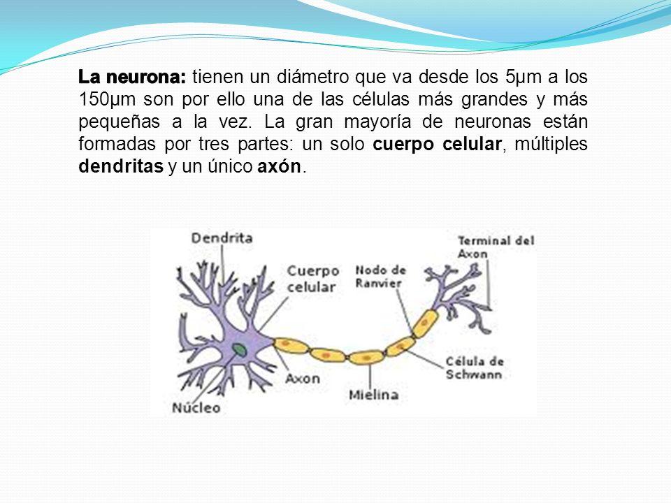 La neurona: tienen un diámetro que va desde los 5μm a los 150μm son por ello una de las células más grandes y más pequeñas a la vez.