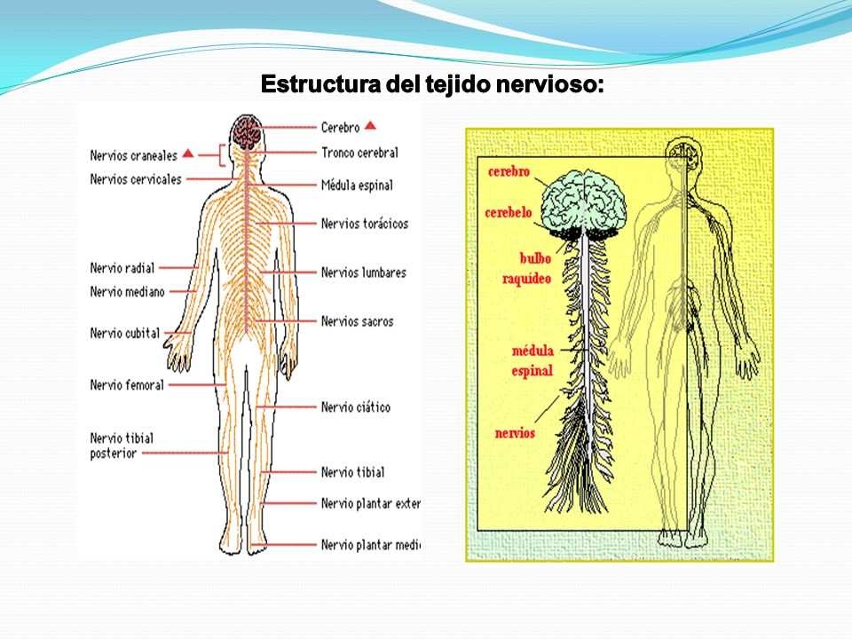 Estructura del tejido nervioso: