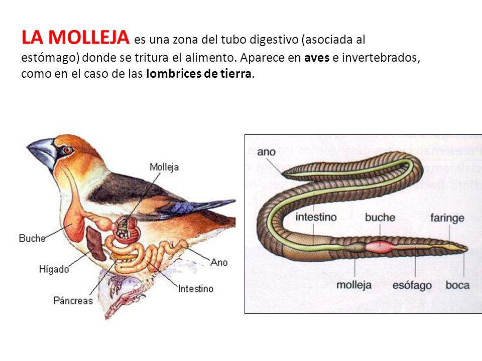 LA MOLLEJA es una zona del tubo digestivo (asociada al estómago) donde se tritura el alimento.