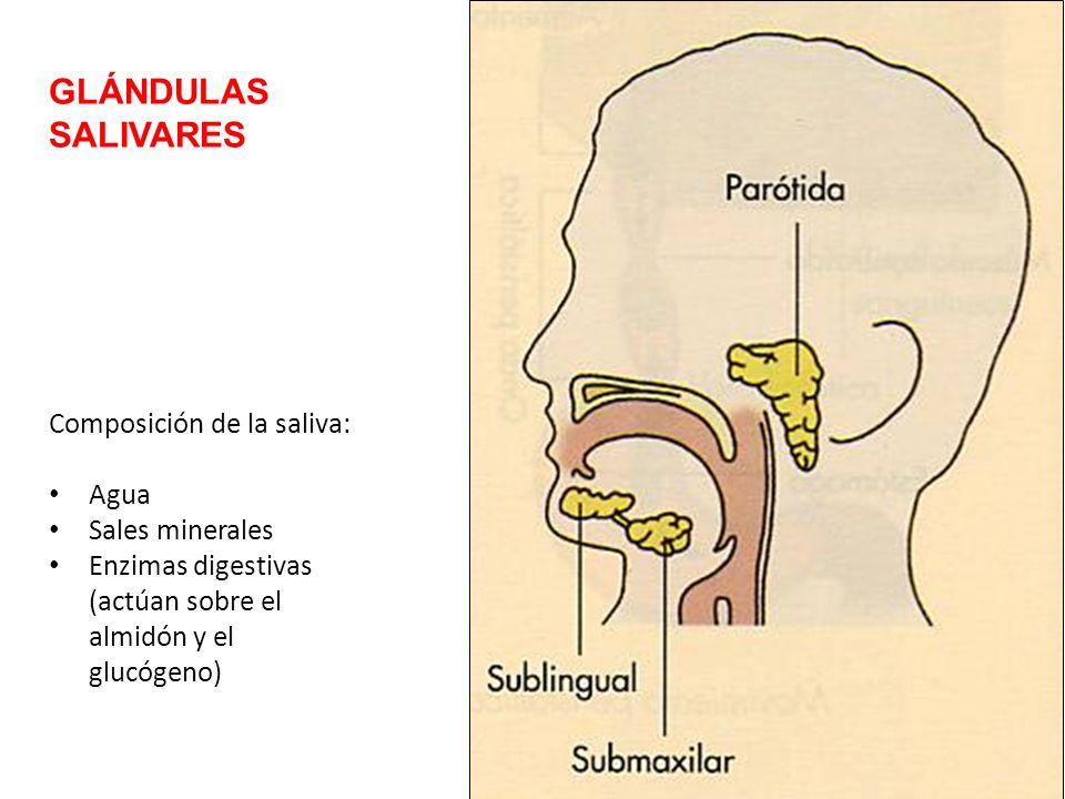 GLÁNDULAS SALIVARES Composición de la saliva: Agua Sales minerales