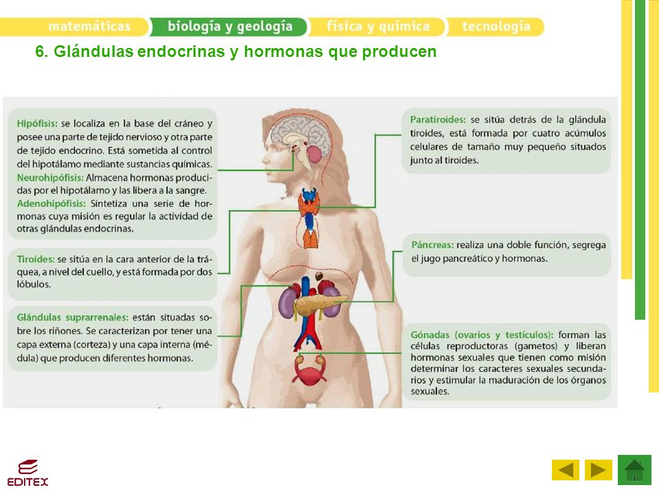6. Glándulas endocrinas y hormonas que producen