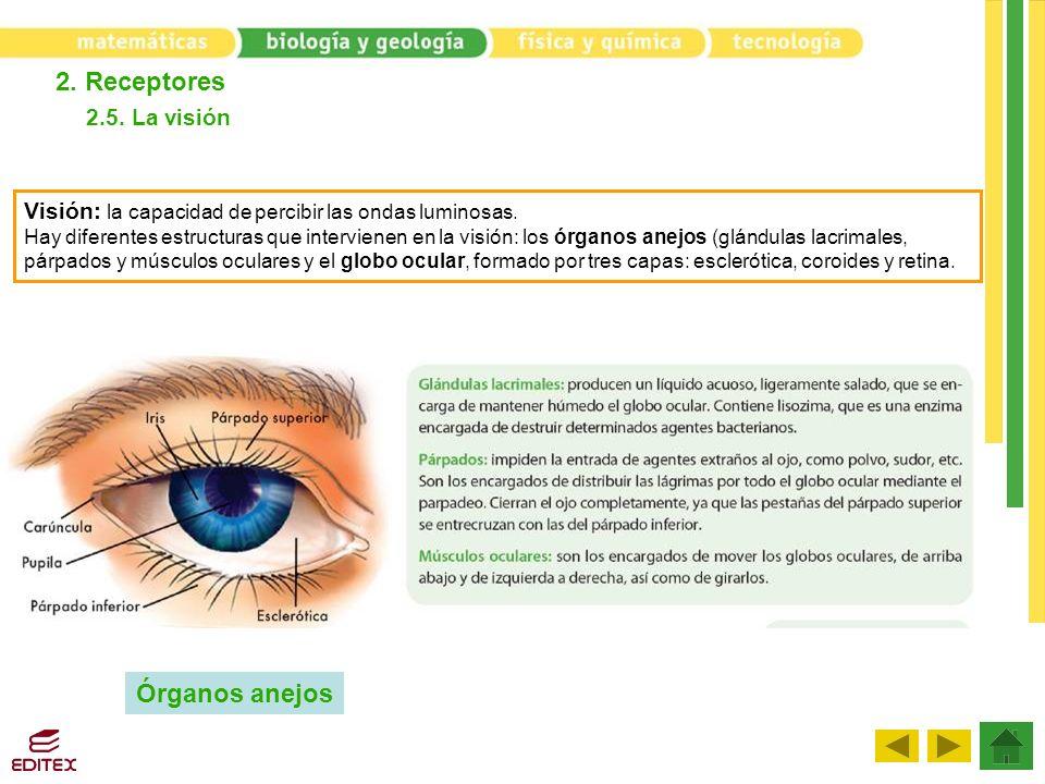 2.5. La visión 2. Receptores Órganos anejos