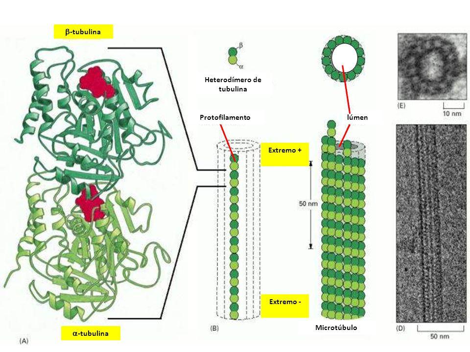 Heterodímero de tubulina