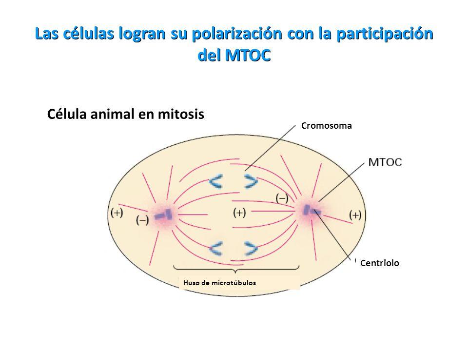 Las células logran su polarización con la participación del MTOC