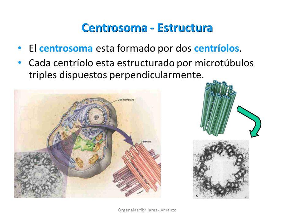 Centrosoma - Estructura