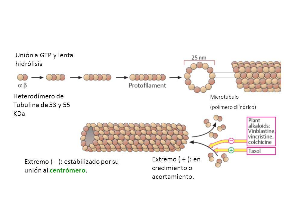 Unión a GTP y lenta hidrólisis