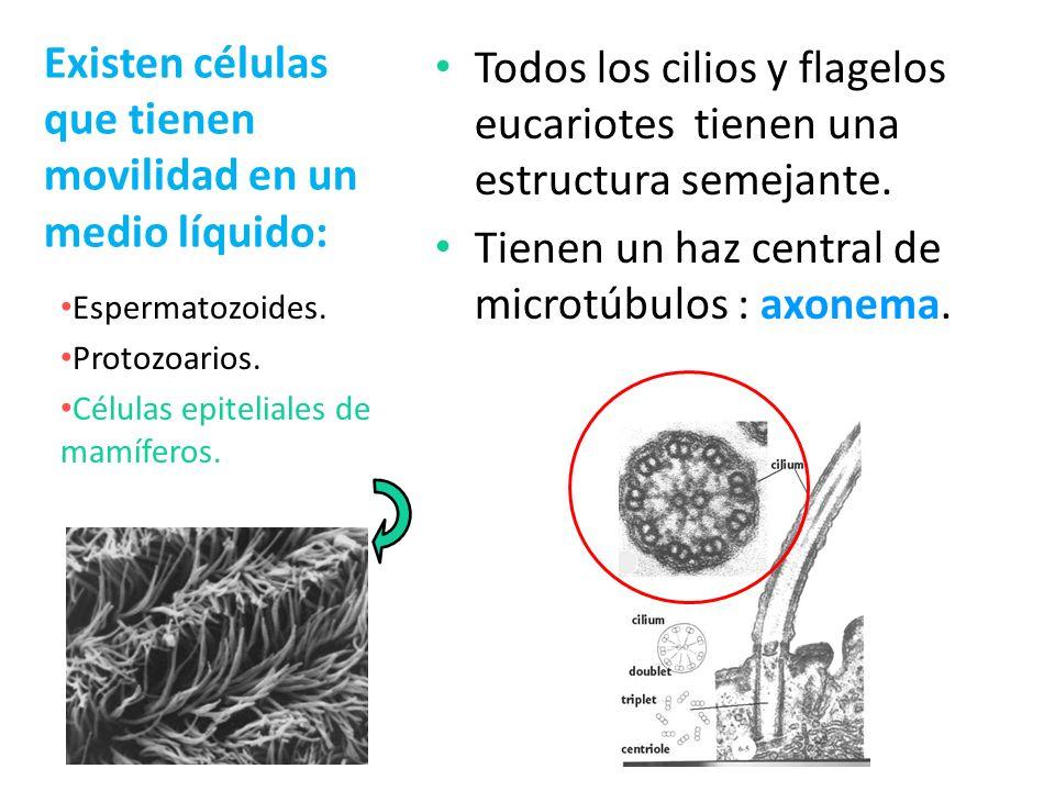 Existen células que tienen movilidad en un medio líquido: