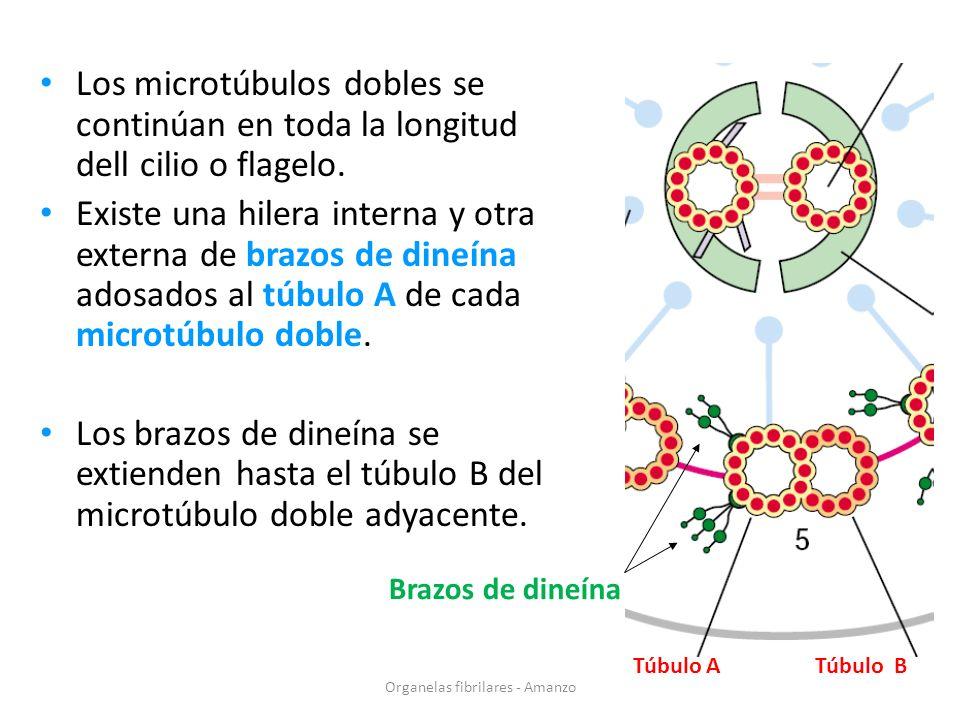 Organelas fibrilares - Amanzo