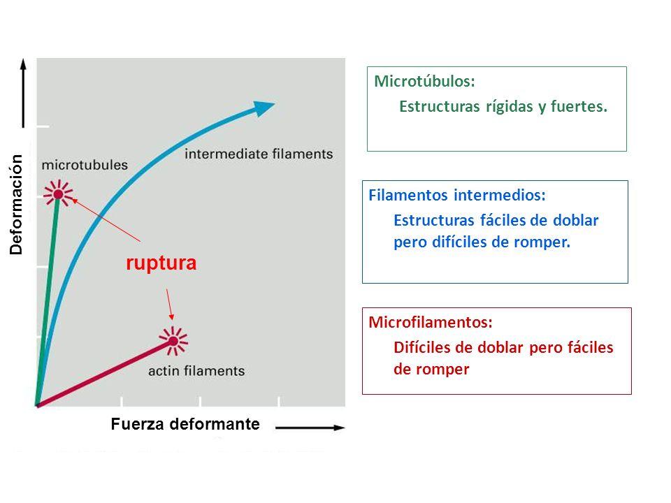 ruptura Microtúbulos: Estructuras rígidas y fuertes.