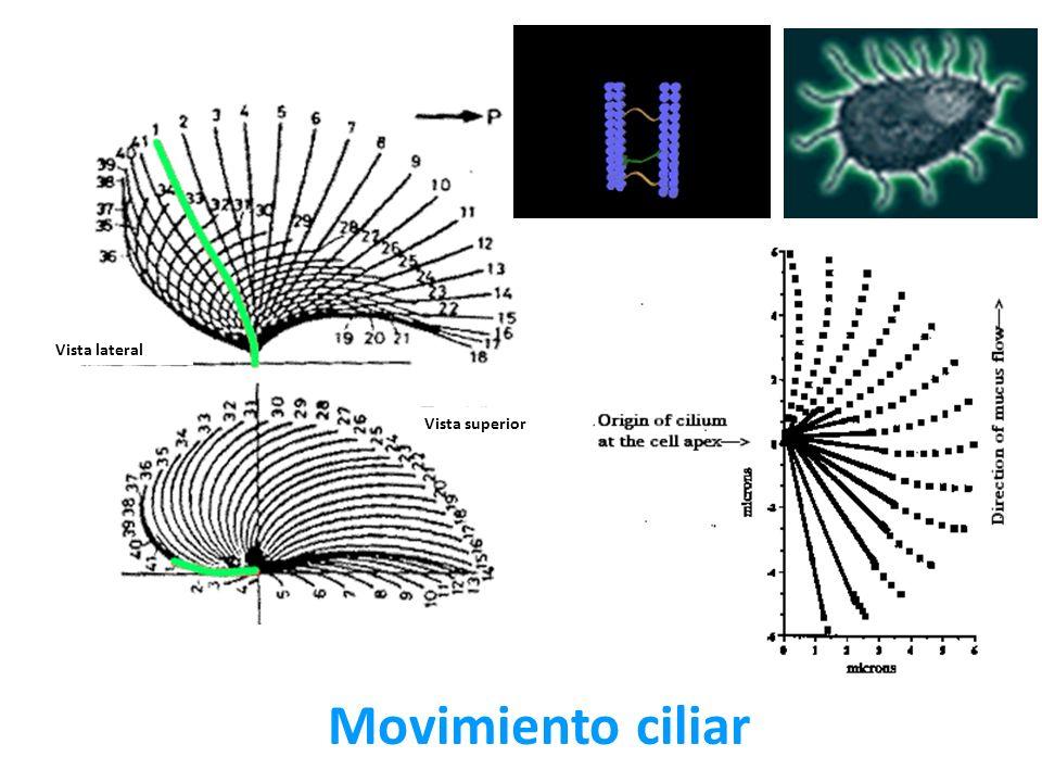 Vista lateral Vista superior Movimiento ciliar
