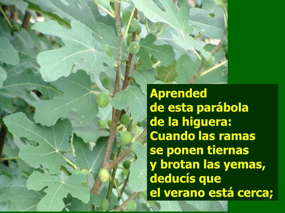Aprended de esta parábola de la higuera: Cuando las ramas se ponen tiernas y brotan las yemas, deducís que el verano está cerca;