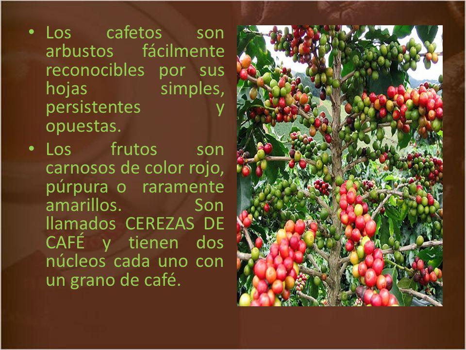Los cafetos son arbustos fácilmente reconocibles por sus hojas simples, persistentes y opuestas.