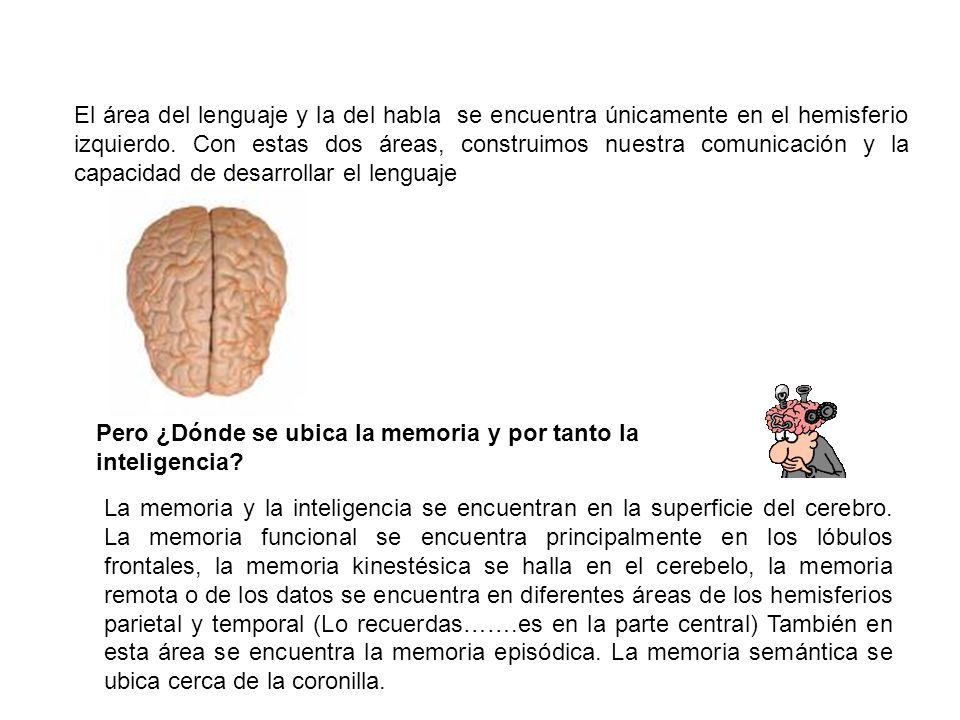 El área del lenguaje y la del habla se encuentra únicamente en el hemisferio izquierdo. Con estas dos áreas, construimos nuestra comunicación y la capacidad de desarrollar el lenguaje
