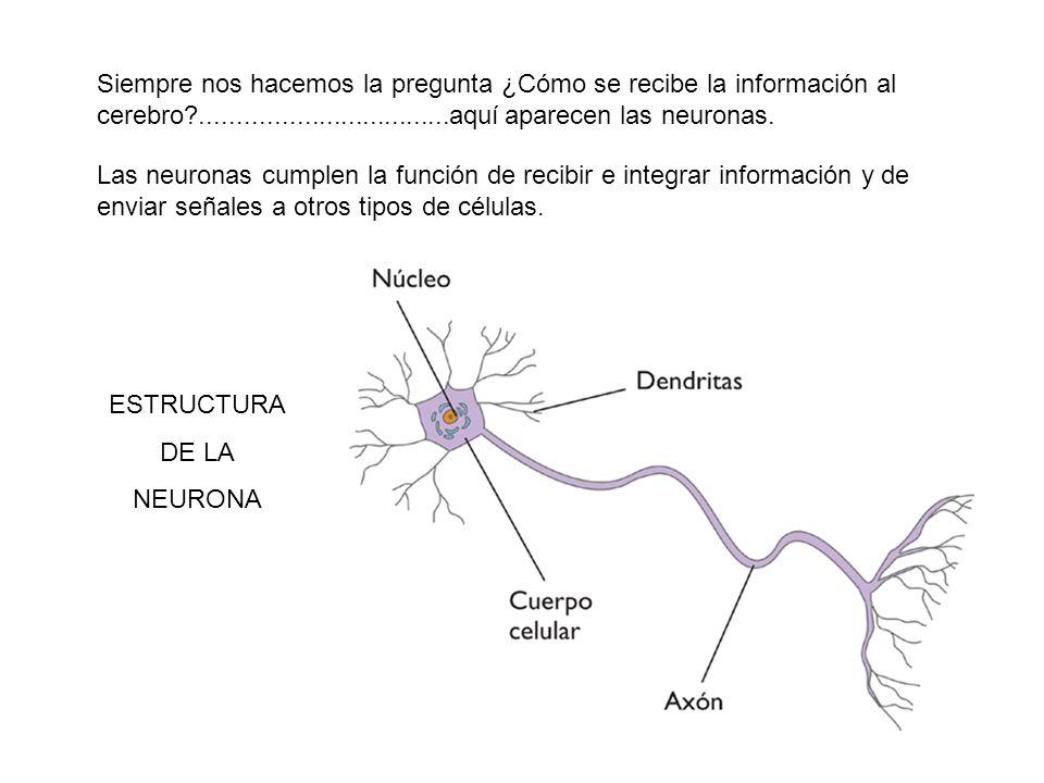 Siempre nos hacemos la pregunta ¿Cómo se recibe la información al cerebro ..................................aquí aparecen las neuronas.