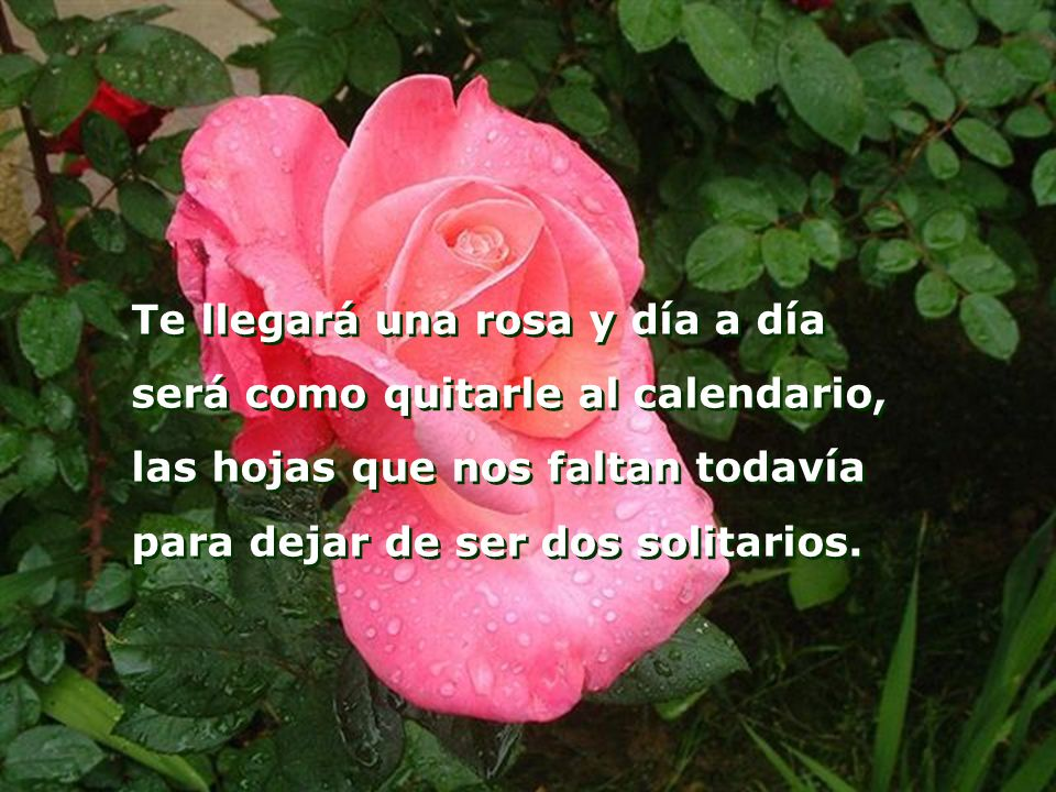 Te llegará una rosa y día a día