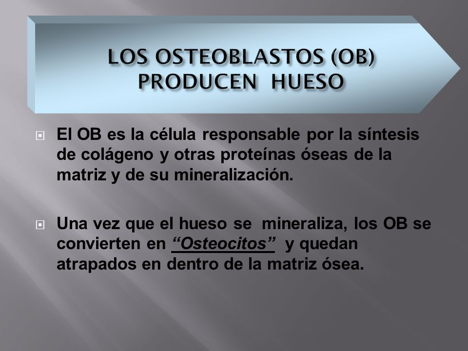 LOS OSTEOBLASTOS (OB) PRODUCEN HUESO
