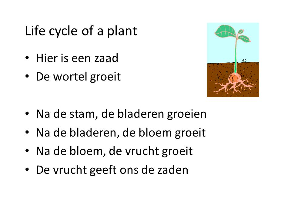 Life cycle of a plant Hier is een zaad De wortel groeit