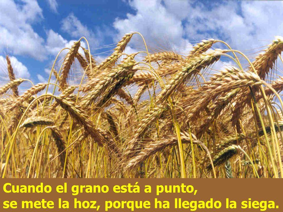 Cuando el grano está a punto, se mete la hoz, porque ha llegado la siega.
