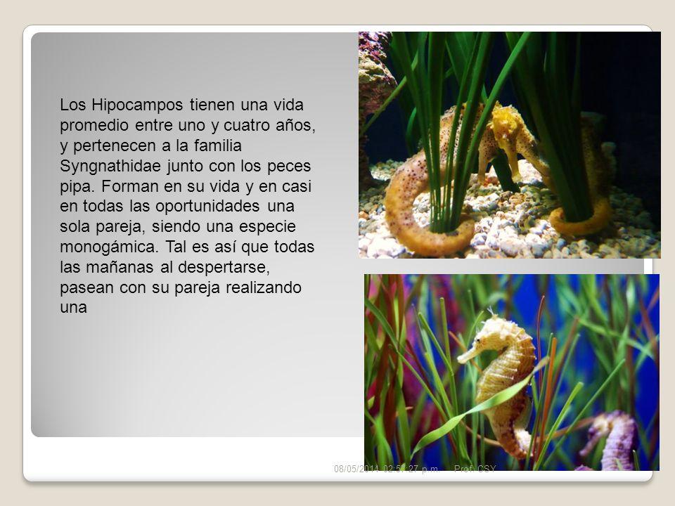 Los Hipocampos tienen una vida promedio entre uno y cuatro años, y pertenecen a la familia Syngnathidae junto con los peces pipa. Forman en su vida y en casi en todas las oportunidades una sola pareja, siendo una especie monogámica. Tal es así que todas las mañanas al despertarse, pasean con su pareja realizando una