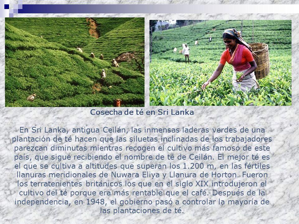 Cosecha de té en Sri Lanka