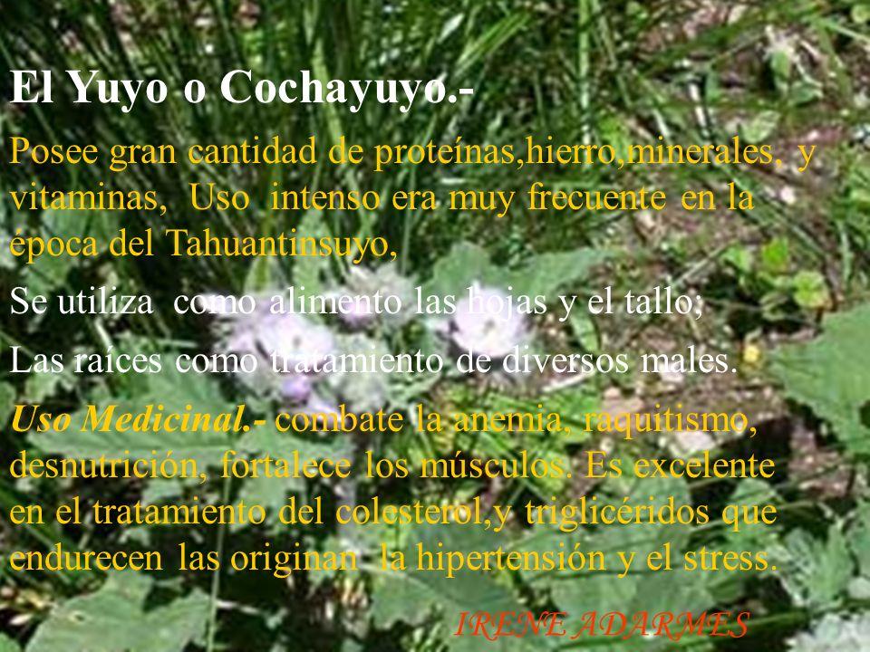El Yuyo o Cochayuyo.-